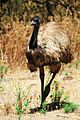 EMU (dromaius novaehollandiae).jpg