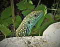 Eastern Green Lizard (Lacerta viridis) (45292925521).jpg