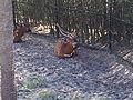Eastern bongo (Tragelaphus eurycerus isaaci) at Jacksonville Zoo.jpg