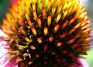 Echinacea purpurea - Image: Echinacea purpura flower closeup