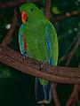 Eclectus Parrot (Eclectus roratus) male (9757217383).jpg