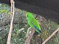 Eclectus roratus -Adelaide Zoo-6a.jpg