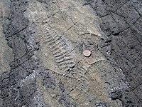 Ediacaran fossils Mistaken Point Newfoundland.jpg