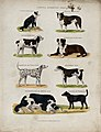 Eight different domestic dogs, including a cattle dog, a bul Wellcome V0021827.jpg