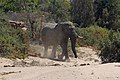 Eléphant du désert-Namibie (2).jpg