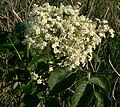 Elderberry flowers chalco.jpg