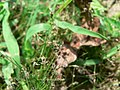 Eleocharis acicularis inflorescence (04).jpg