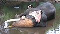 Elephant being bathed.jpg