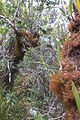 Elfin forest (montane, tropical) (8188906598).jpg