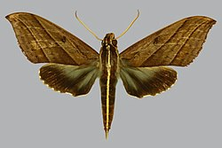 Elibia linigera BMNHE813087 male up.jpg