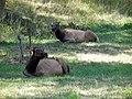 Elk in Lone Elk Park.JPG