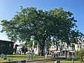 Elm Tree at Milk Row Cemetery in Somerville, MA - August 2019.jpg