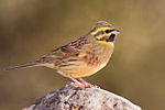 Emberiza cirlus -Valencian Community, Spain -male-8 (1).jpg