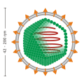 Enveloped icosahedral virus.svg