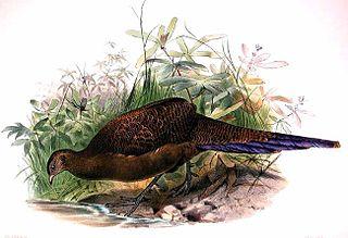 Bronze-tailed peacock-pheasant species of bird