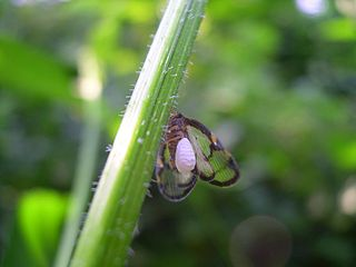 <i>Epiricania hagoromo</i> Species of moth