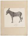 Equus asinus - 1700-1880 - Print - Iconographia Zoologica - Special Collections University of Amsterdam - UBA01 IZ21700065.tif