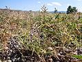 Eragrostis minor (6124341142).jpg