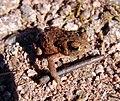 Erdkröte (Bufo bufo) Jungtier 004.jpg