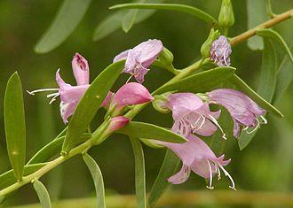 Eremophila (plant) - E. maculata (cultivated) at Desert Demonstration Garden in Las Vegas