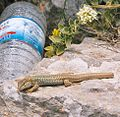 Erhard's wall lizard spotted.jpg