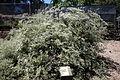 Eriogonum giganteum - UC Davis Arboretum - DSC03374.JPG
