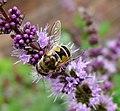Eristalis arbustorum. (diffuse wing stigma) - Flickr - gailhampshire.jpg