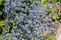 Eryngium planum in Jardin des 5 sens (1).jpg