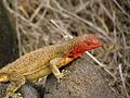 Espanola Lava Lizard, closeup.jpg