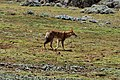 Ethiopian wolf, Sanetti Plateau, Bale Mountains National Park (10) (28667111063).jpg