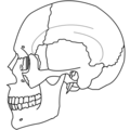 Ethmoid Bone Simple.png