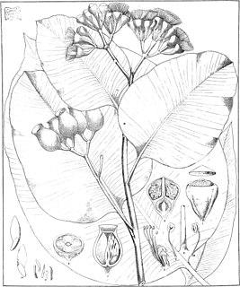 <i>Corymbia foelscheana</i> species of plant