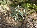Eucalyptus bridgesiana (5369178023).jpg