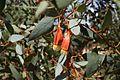 Eucalyptus forrestiana (1).jpg