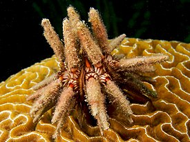 Perischoechinoidea Википедия