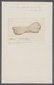Eucoelium boraboracensis - - Print - Iconographia Zoologica - Special Collections University of Amsterdam - UBAINV0274 092 03 0003.tif