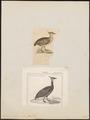 Eudromia elegans - 1700-1880 - Print - Iconographia Zoologica - Special Collections University of Amsterdam - UBA01 IZ18900255.tif