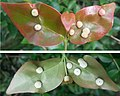Eugenia uniflora infected leaves.jpg