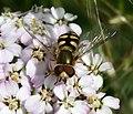 Eupeodes corollae (male) - Flickr - S. Rae (1).jpg