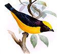 Euphonia saturata - Joseph Smit.jpg