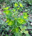 Euphorbia amygdaloides bgiu.jpg
