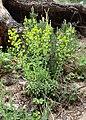 Euphorbia amygdaloides kz11.jpg