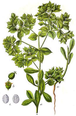 Euphorbia falcata Sturm32