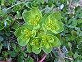 Euphorbia helioscopia 02.jpg