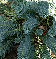 Euphorbia myrsinites Parc floral 3.JPG