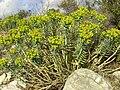 Euphorbia rigida.jpg