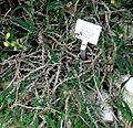 Euphorbia sakarahaensis - Palmengarten Frankfurt.jpg