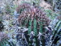 Euphorbia stellispina plant detail.jpg
