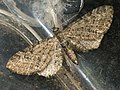 Eupithecia sp. (40498663035).jpg