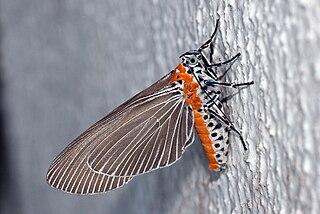 <i>Euplocia</i> Genus of moths